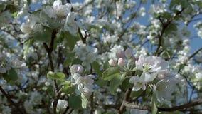 Florescência de árvores de maçã filme