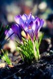 Florescência de açafrões roxos Fotografia de Stock
