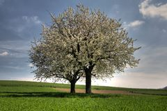Florescência de duas árvores de cereja Foto de Stock