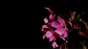 Florescência de flores cor-de-rosa das maçãs com folhas novas Fotografia de Stock Royalty Free