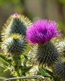 Florescência de Fynbos Foto de Stock