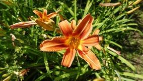 Florescência de lírios alaranjados no jardim foto de stock