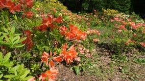 Florescência de rododendros coloridos no jardim botânico imagens de stock royalty free