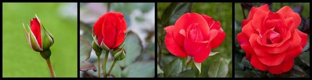 Florescência de Rosa Fotografia de Stock