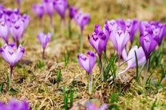 Florescência de Safran Fotografia de Stock Royalty Free