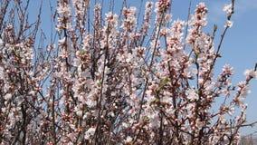 Florescência de Sakura video estoque