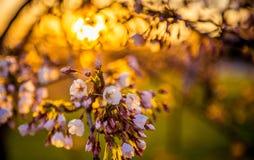 Florescência de Sakura Fotos de Stock Royalty Free