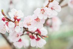 Florescência de Sakura fotografia de stock royalty free