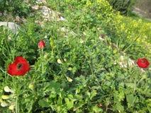 Florescência de três anêmonas vermelhas imagem de stock