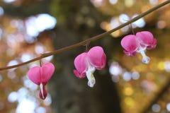 Florescência de três flores do coração de sangramento imagens de stock royalty free