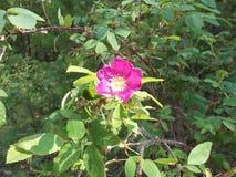 Florescência de um dogrose 2 imagens de stock