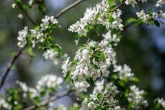 Florescência de um vidoeiro Fotografia de Stock Royalty Free