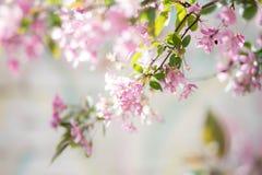Florescência de uma Apple-árvore Imagens de Stock Royalty Free