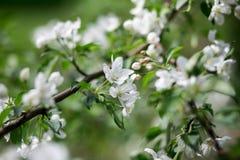 Florescência de uma Apple-árvore Imagens de Stock