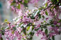 Florescência de uma Apple-árvore Imagem de Stock Royalty Free