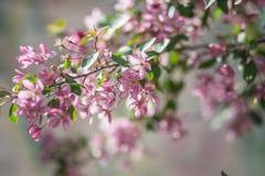 Florescência de uma Apple-árvore Fotos de Stock Royalty Free
