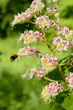 Florescência de uma castanha-da-índia comum Fotografia de Stock