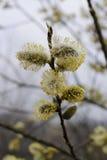 Florescência delicada de ramos do salgueiro Foto de Stock Royalty Free