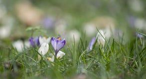 Florescência do açafrão Foto de Stock