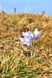 Florescência do açafrão Imagem de Stock