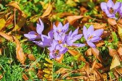 Florescência do açafrão de açafrão Imagem de Stock