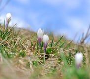 Florescência do açafrão selvagem Imagem de Stock Royalty Free