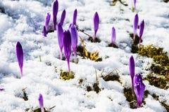 Florescência do açafrão selvagem, açafrão selvagem na mola adiantada, germinação das primeiras hortaliças de debaixo da neve, Ucr Foto de Stock Royalty Free