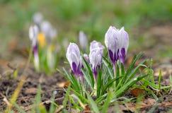 Florescência do açafrão selvagem (tommasinianus do açafrão) Fotografia de Stock