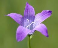 Florescência do Campanula Fotos de Stock