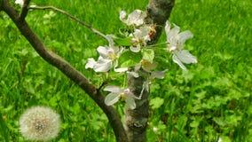 Florescência do fundo de uma árvore de maçã video estoque