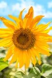 Florescência do girassol Fotos de Stock Royalty Free