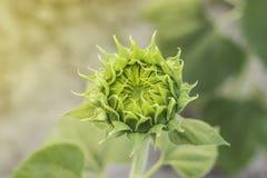 Florescência do girassol fotografia de stock royalty free