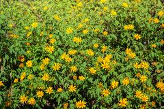 Florescência do girassol mexicano fotos de stock