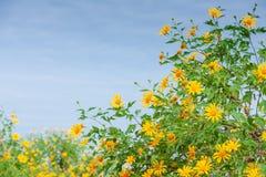Florescência do girassol mexicano imagem de stock