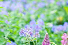 Florescência do início do verão Foto de Stock Royalty Free