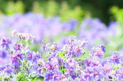 Florescência do início do verão Foto de Stock
