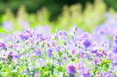 Florescência do início do verão Imagem de Stock