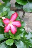 Florescência do obesum do Adenium foto de stock royalty free