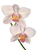 Florescência do Phalaenopsis bonito da orquídea Fotos de Stock