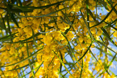 Florescência do pycnantha da acácia da árvore da mimosa, fim do wattle dourado acima na mola, flores amarelas brilhantes, coojong Imagens de Stock Royalty Free