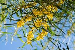 Florescência do pycnantha da acácia da árvore da mimosa, fim do wattle dourado acima na mola, flores amarelas brilhantes, coojong Fotografia de Stock Royalty Free