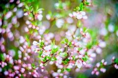 Florescência do rosa da mola imagens de stock
