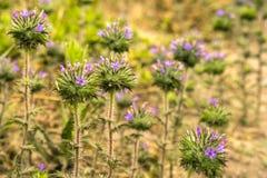 Florescência do squarrosa de Skunkbrush Navarretia foto de stock