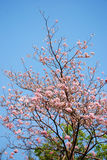Florescência do tabebuia Fotos de Stock