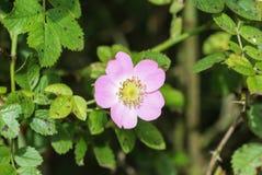 Florescência doce da flor de Brier (rubiginosa de Rosa), igualmente conhecida como a rosa sweetbriar, o briar doce ou a rosa egla imagem de stock royalty free