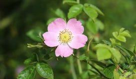 Florescência doce da flor de Brier (rubiginosa de Rosa), igualmente conhecida como a rosa sweetbriar, o briar doce ou a rosa egla fotos de stock royalty free