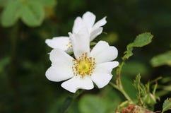 Florescência doce da flor de Brier (rubiginosa de Rosa), igualmente conhecida como a rosa sweetbriar, o briar doce ou a rosa egla imagens de stock royalty free