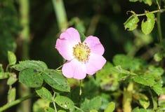 Florescência doce da flor de Brier (rubiginosa de Rosa), igualmente conhecida como a rosa sweetbriar, o briar doce ou a rosa egla imagem de stock