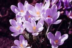 Florescência dos açafrões violetas Imagens de Stock
