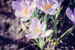 Florescência dos açafrões violetas Foto de Stock